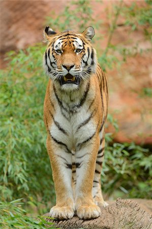 endangered animal - Portrait of Siberian Tiger (Panthera tigris altaica) Stock Photo - Rights-Managed, Code: 700-06486506
