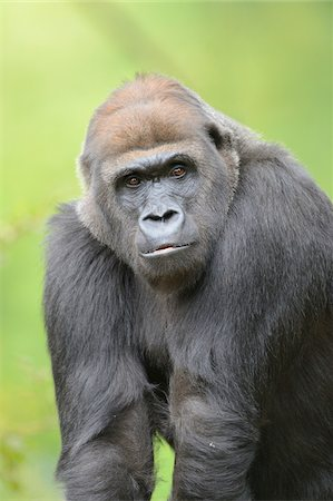 endangered animal - Western Lowland Gorilla (Gorilla gorilla gorilla) Stock Photo - Rights-Managed, Code: 700-06486502