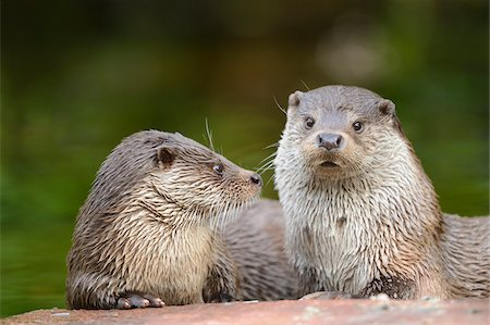 Two European Otters (Lutra lutra) Lying on Rock Stock Photo - Rights-Managed, Code: 700-06486524
