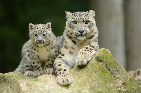 Snow Leopard (uncia uncia) Cub with Mother Stock Photo - Rights-Managed, Code: 700-06486529