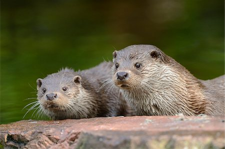 Two European Otters (Lutra lutra) Lying on Rock Stock Photo - Rights-Managed, Code: 700-06486523