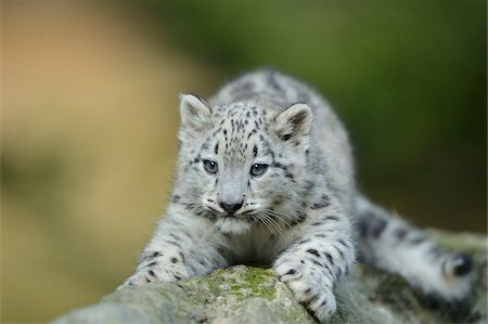 spotted - Snow Leopard (uncia uncia) Cub Lying on Rock Stock Photo - Rights-Managed, Code: 700-06486531
