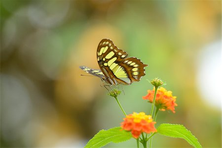 Malachite Butterfly (Siproeta stelenes) on Orange Flower Stock Photo - Rights-Managed, Code: 700-06486540