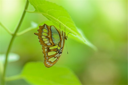 Malachite Butterfly (Siproeta stelenes) on Underside of Leaf Stock Photo - Rights-Managed, Code: 700-06486541