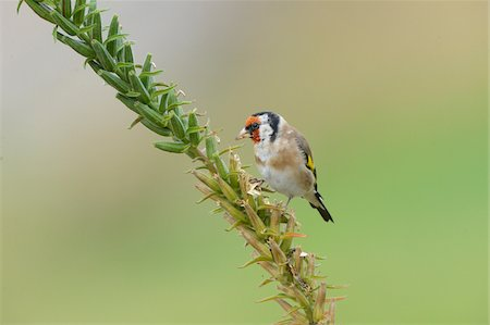 European Goldfinch (Carduelis carduelis) Perched on Plant Stock Photo - Rights-Managed, Code: 700-06486597