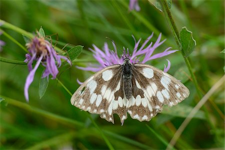 Marbled White Butterfly (Melanargia galathea) on Purple Flower Stock Photo - Rights-Managed, Code: 700-06486607