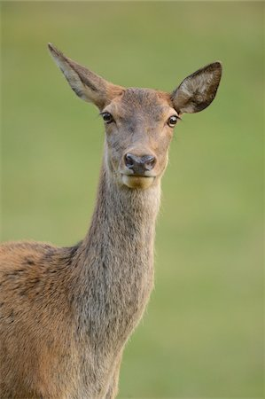perception - Close-Up of Red Deer (Cervus elaphus) Looking at Camera, Bavaria, Germany Stock Photo - Rights-Managed, Code: 700-06486603