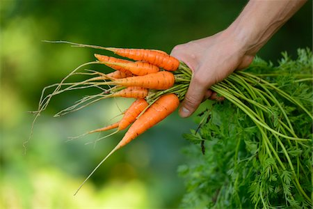 fresh - Close-Up of Hand Holding Bunch of Harvested Carrots, Bavaria, Germany, Europe Stock Photo - Rights-Managed, Code: 700-06505723
