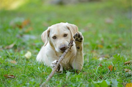 stick - Golden Labrador Retriever Puppy Lying on Grass and Chewing on Stick, Upper Palatinate, Bavaria, Germany Stock Photo - Rights-Managed, Code: 700-06505807