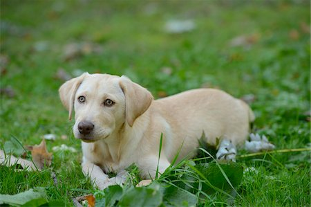 perception - Golden Labrador Retriever Puppy Lying on Grass, Upper Palatinate, Bavaria, Germany Stock Photo - Rights-Managed, Code: 700-06505809