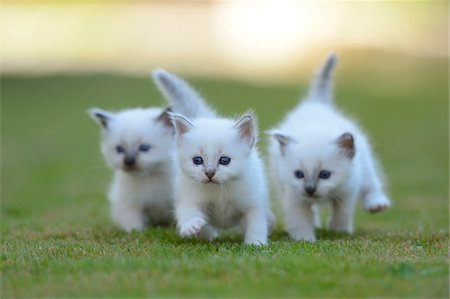 Three White Birman Kittens Running Together Outside on Grass Stock Photo - Rights-Managed, Code: 700-06505812