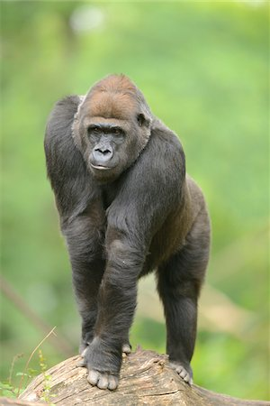 endangered animal - Western Lowland Gorilla Stock Photo - Rights-Managed, Code: 700-06512677