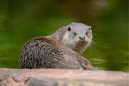 Wet European Otter (Lutra lutra) Looking Back at Camera, Bavaria, Germany Stock Photo - Rights-Managed, Code: 700-06512689