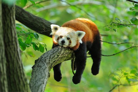 endangered animal - Red Panda (Ailurus fulgens) Lying on Tree Branch Stock Photo - Rights-Managed, Code: 700-06512696