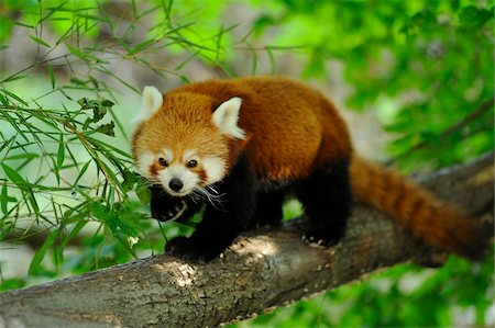 Red Panda (Ailurus fulgens) Walking Along Tree Branch Stock Photo - Rights-Managed, Code: 700-06512697