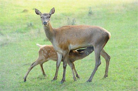 Red Deer (Cervus elaphus) Doe Feeding Fawn, Bavaria, Germany Stock Photo - Rights-Managed, Code: 700-06512698
