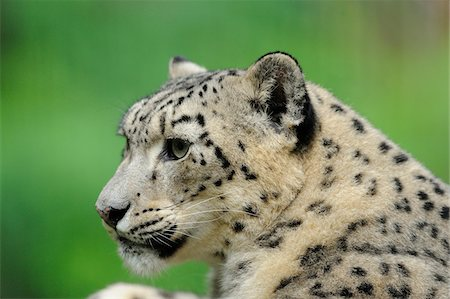 Close-Up Profile of Snow Leopard Face (uncia uncia) Stock Photo - Rights-Managed, Code: 700-06512693