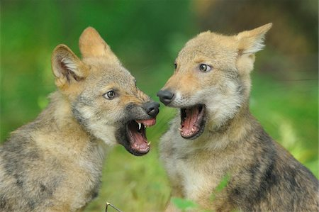 Gray Wolf (Canis lupus) Pups Play Fighting Stock Photo - Rights-Managed, Code: 700-06512702