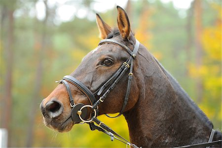 Close-Up of Bavarian Warmblood Horse Outdoors in Autumn Stock Photo - Rights-Managed, Code: 700-06512871
