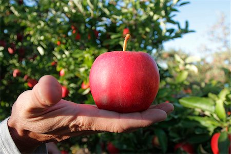 single fruits tree - Close-Up of Man's Hand Holding Red Delicious Apple in Apple Orchard, Kelowna, British Columbia Stock Photo - Rights-Managed, Code: 700-06531427