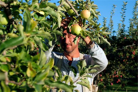 single fruits tree - Man picking golden delicious apples in an apple orchard, Kelowna, British Columbia Stock Photo - Rights-Managed, Code: 700-06531428