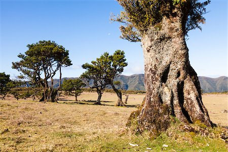 Til (Ocotea foetens) trees, century old on the plateau Paul da Serra, Madeira, Portugal Stock Photo - Rights-Managed, Code: 700-06531517