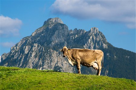 Profile of Cow on top of a Hill with Mountain in Background, Fussen, Swabia, Bavaria, Germany Stock Photo - Rights-Managed, Code: 700-06531661