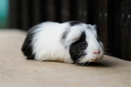 Black and White Guinea Pig (Cavia porcellus) Stock Photo - Rights-Managed, Code: 700-06531813