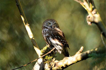 predator - Pygmy Owl (Glaucidium passerinum) in Tree, Bavarian Forest National Park, Bavaria, Germany Stock Photo - Rights-Managed, Code: 700-06531875