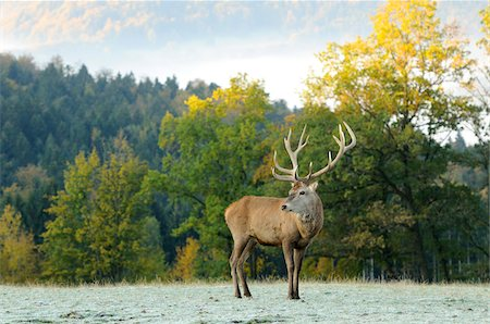 fall - Red Deer (Cervus elaphus) Stag Standing in Frost Covered Field in Autumn, Bavaria, Germany Stock Photo - Rights-Managed, Code: 700-06531897