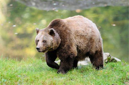 European Brown Bear (Ursus arctos arctos) near Water, Bavarian Forest National Park, Bavaria, Germany, Europe, Stock Photo - Rights-Managed, Code: 700-06531903