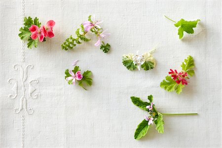 High angle view of variety of edible pelargoniums (geraniums) in bloom on a white linen tabletop Stock Photo - Rights-Managed, Code: 700-06532025