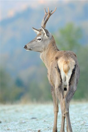 Rear View of Red Deer Standing in Frost Covered Field (Cervus elaphus), Bavaria, Germany Stock Photo - Rights-Managed, Code: 700-06553535