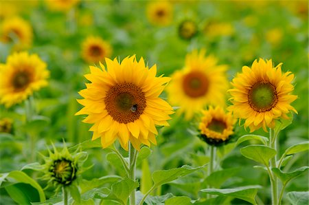 flowers - Sunflowers in Field, Bavaria, Germany Stock Photo - Rights-Managed, Code: 700-06570888