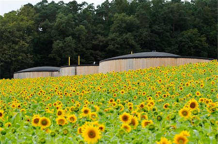 Sunflowers in Field, Bavaria, Germany Stock Photo - Rights-Managed, Code: 700-06570890