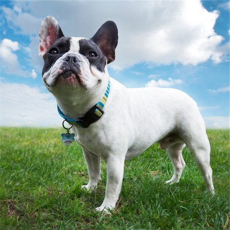 pet - pastoral view of four year old French Bulldog standing outdoors on grass Stock Photo - Rights-Managed, Code: 700-06570975