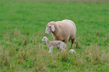 Sheep (Ovis aries) mother with young lambs in a meadow in autumn, Bavaria, Germany Stock Photo - Rights-Managed, Code: 700-06626864