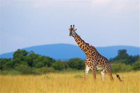 Masai giraffe (Giraffa camelopardalis tippelskirchi), male adult walking in savanna, Maasai Mara National Reserve, Kenya, Africa. Stock Photo - Rights-Managed, Code: 700-06645587