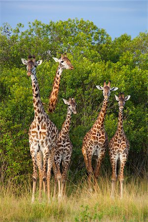 Herd of Masai giraffes (Giraffa camelopardalis tippelskirchi) standing near trees, Maasai Mara National Reserve, Kenya, Africa. Stock Photo - Rights-Managed, Code: 700-06645583