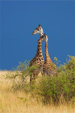 spotted - Two Masai giraffes (Giraffa camelopardalis tippelskirchi) standing in savanna, Maasai Mara National Reserve, Kenya, Africa. Stock Photo - Rights-Managed, Code: 700-06645595