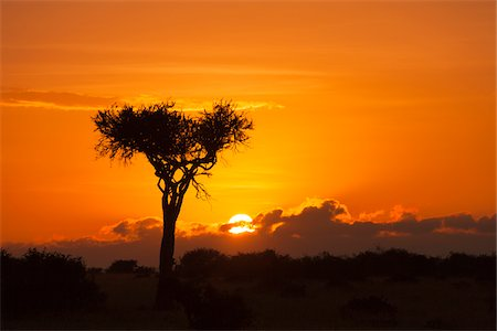 View of acacia tree silhouetted against beautiful sunrise sky, Maasai Mara National Reserve, Kenya, Africa. Stock Photo - Rights-Managed, Code: 700-06645849