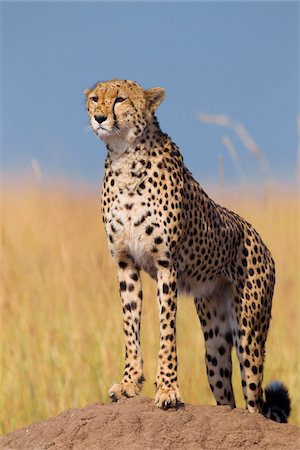 perception - Cheetah (Acinonyx jubatus) adult searching for prey from atop termite mound, Maasai Mara National Reserve, Kenya, Africa. Stock Photo - Rights-Managed, Code: 700-06645840