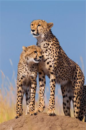 Cheetah (Acinonyx jubatus) with half grown cub searching for prey from atop termite mound, Maasai Mara National Reserve, Kenya, Africa. Stock Photo - Rights-Managed, Code: 700-06645842
