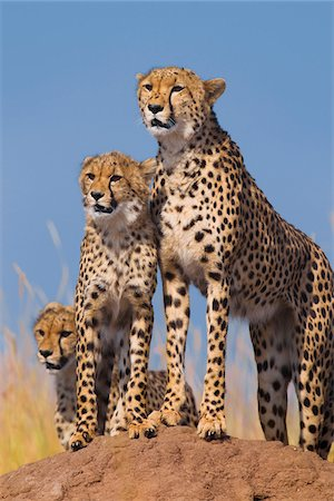 perception - Cheetah (Acinonyx jubatus) with two half grown cubs searching for prey from atop termite mound, Maasai Mara National Reserve, Kenya, Africa. Stock Photo - Rights-Managed, Code: 700-06645843