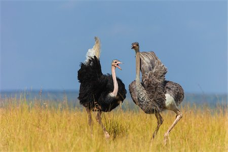 A pair of Masai ostriches (Struthio camelus massaicus) in the grasslands of the Masai Mara National Reserve, Kenya, East Africa. Stock Photo - Rights-Managed, Code: 700-06645858