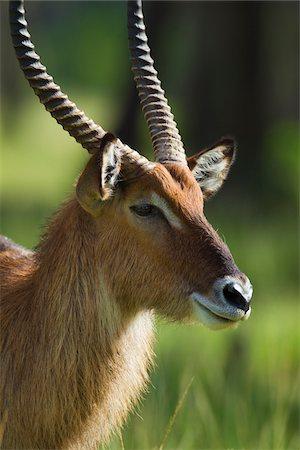 Defassa waterbuck (Kobus defassa), Maasai Mara National Reserve, Kenya, Africa. Stock Photo - Rights-Managed, Code: 700-06645867
