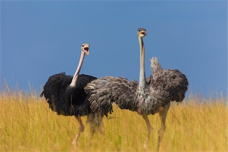 A pair of Masai ostriches (Struthio camelus massaicus) in the grasslands of the Masai Mara National Reserve, Kenya, East Africa. Stock Photo - Rights-Managed, Code: 700-06645860