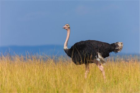 Side view of male masai ostrich (Struthio camelus massaicus) walking in the grasslands of the Masai Mara National Reserve, Kenya, East Africa. Stock Photo - Rights-Managed, Code: 700-06645861