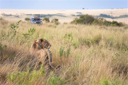 African Lion (Panthera leo) and safari jeep in the Maasai Mara National Reserve, Kenya, Africa. Stock Photo - Rights-Managed, Code: 700-06645870