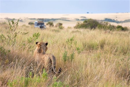 African Lion (Panthera leo) and safari jeep in the Maasai Mara National Reserve, Kenya, Africa. Stock Photo - Rights-Managed, Code: 700-06645872